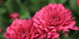 hama bunga krisan