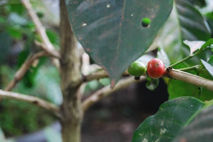 nematoda parasit tanaman kopi
