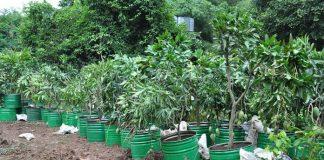 bibit vegetatif