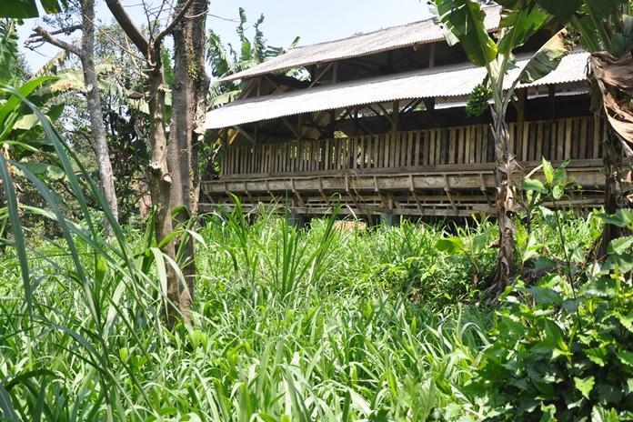 menanam rumput gajah