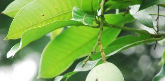 tanaman mangga