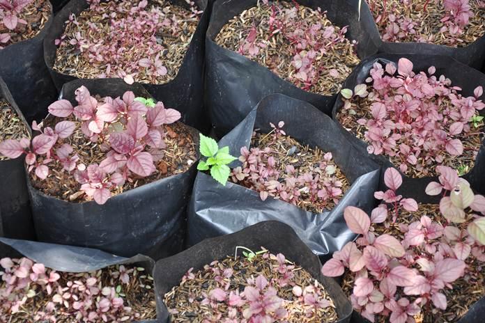 menanam sayur organik