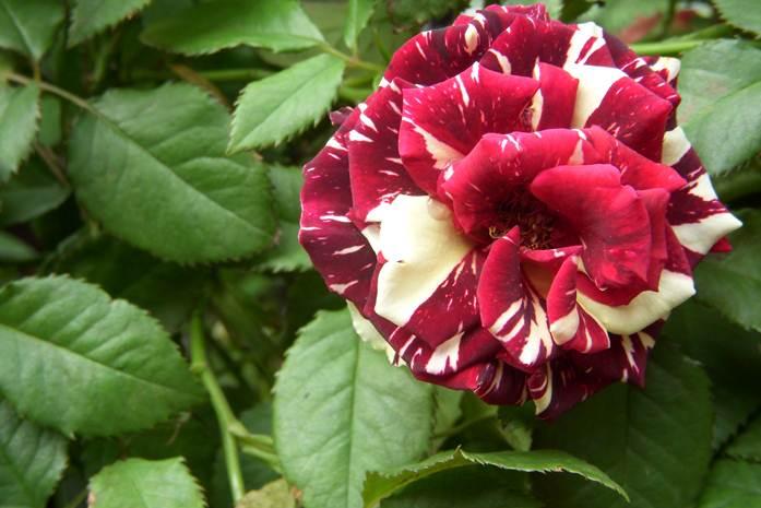 kutu daun mawar