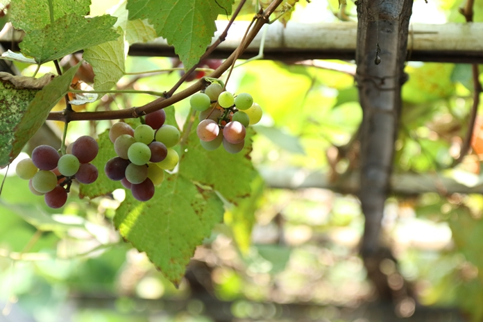 daun anggur