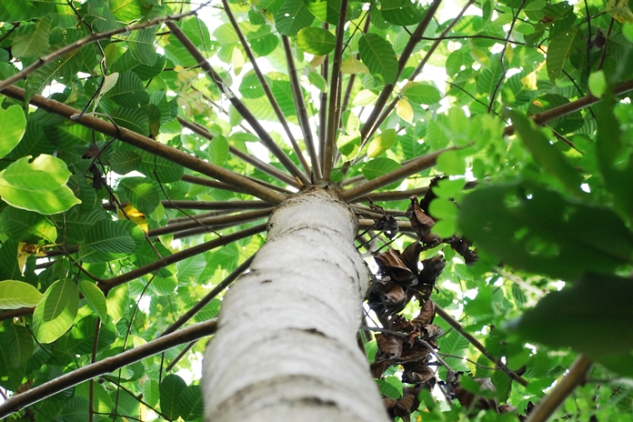 hama pohon jabon