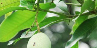 hama buah mangga