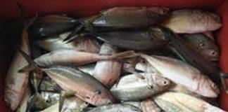 ikan bubara