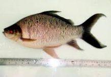 ikan kelabau