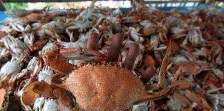 kepiting dan rajungan
