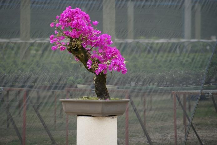 tanaman bonsai
