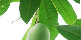 mangga berukuran besar