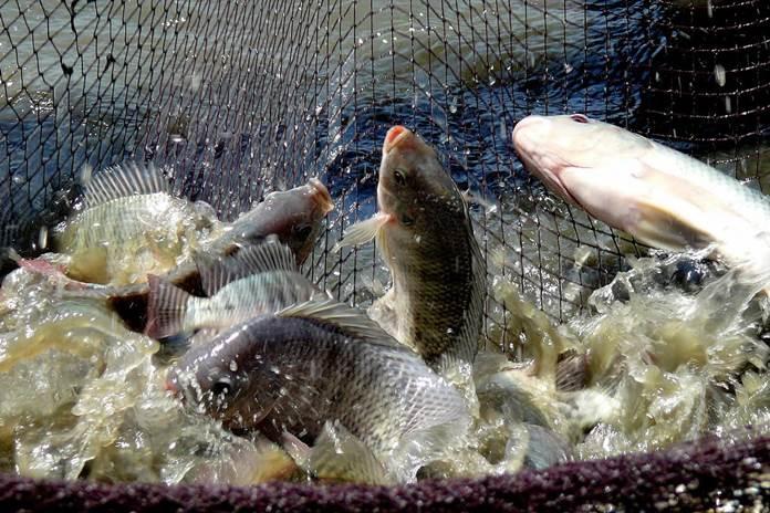 kampung ikan