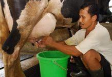 industri susu sapi perah