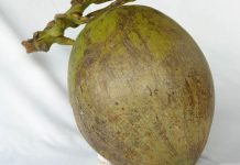komoditas kelapa