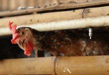 penyebab ayam stres