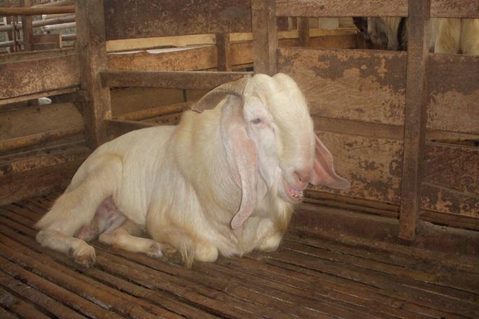 kambing kembung