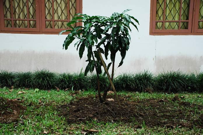 merawat tanaman mangga