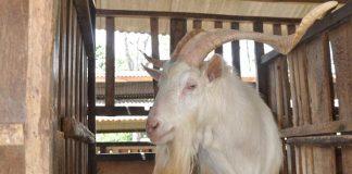 proses melahirkan kambing