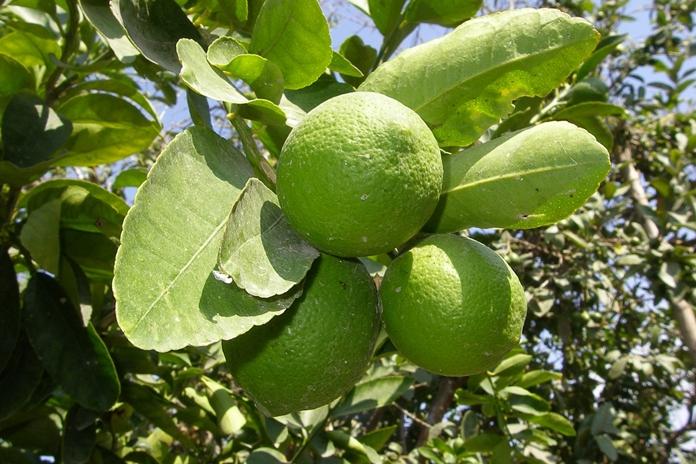 menanam jeruk nipis