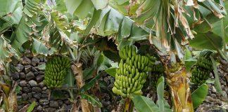 pohon pisang kerdil