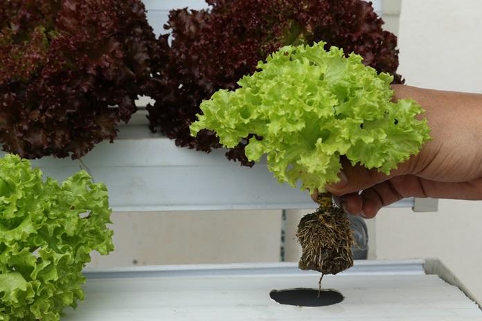 selada organik