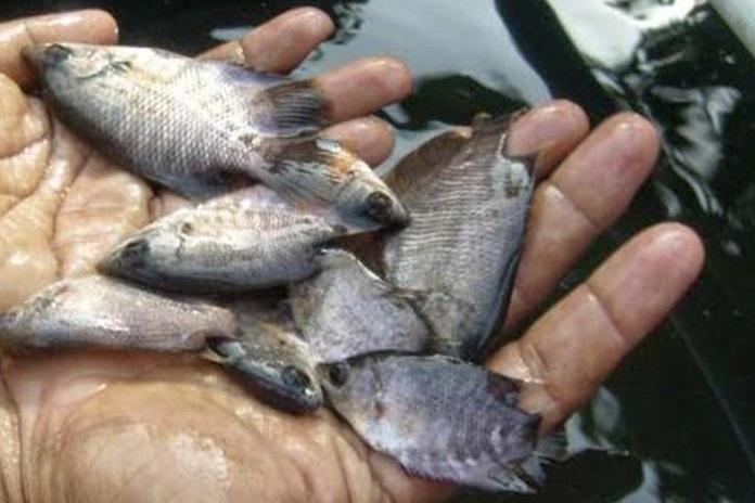 pembenihan ikan gurami