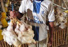 peternakan ayam broiler