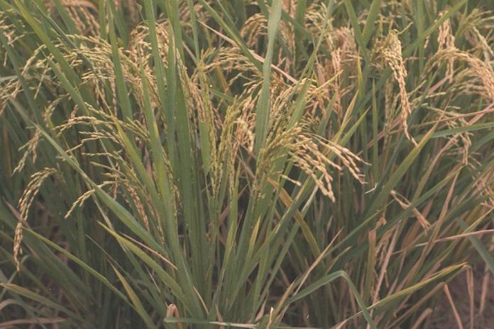 produksi padi