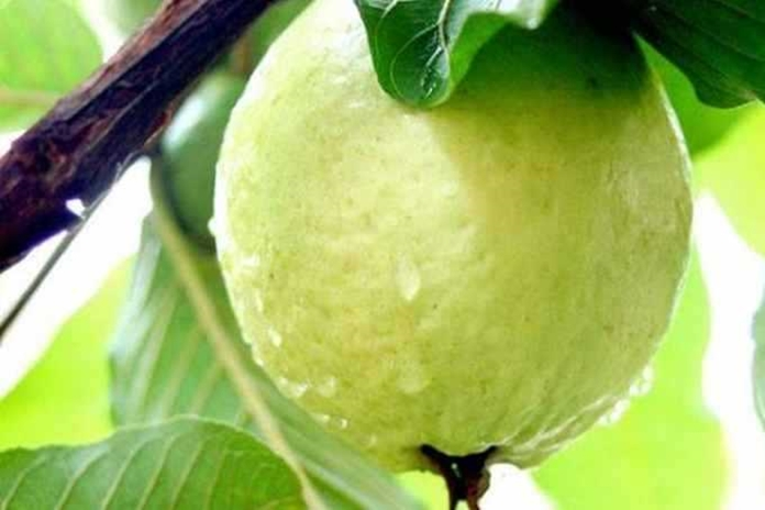 pupuk pohon jambu biji