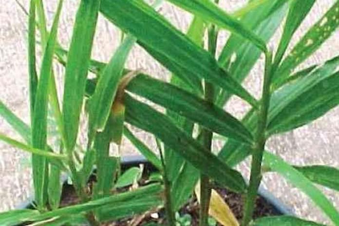 tanaman jahe