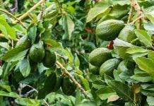 tanaman avokad