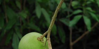 pohon jeruk bali