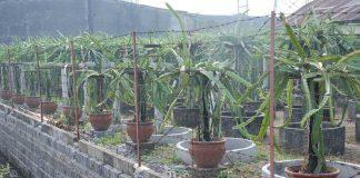 buah naga di pot