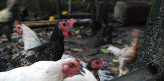 jenis ayam
