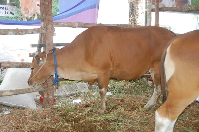 sapi kembung