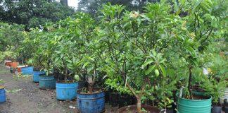 menanam mangga