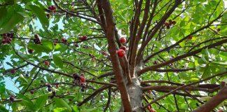 tanaman buah jambu bol