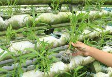 hama tanaman sayuran