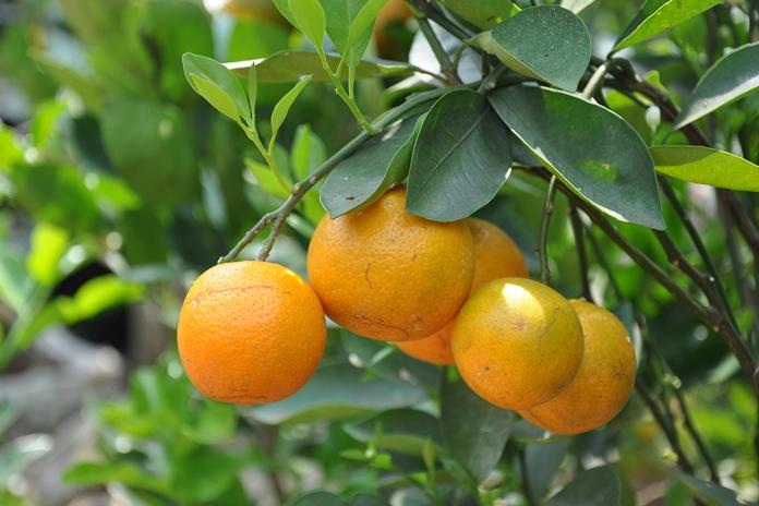 jenis jeruk