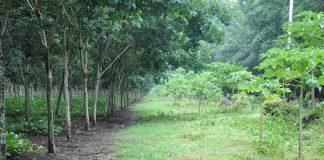 tanaman sela karet