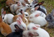 jenis pakan kelinci
