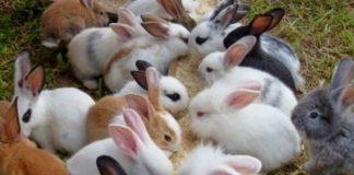 sejarah kelinci