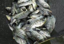 penyakit ikan