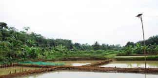 kolam ikan gabus