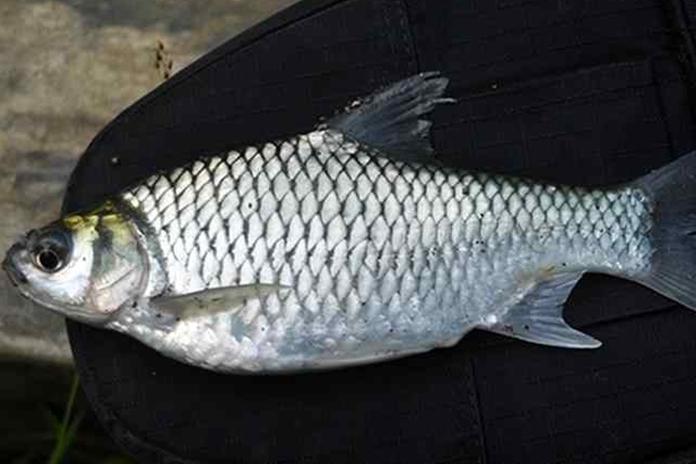 ikan tawes