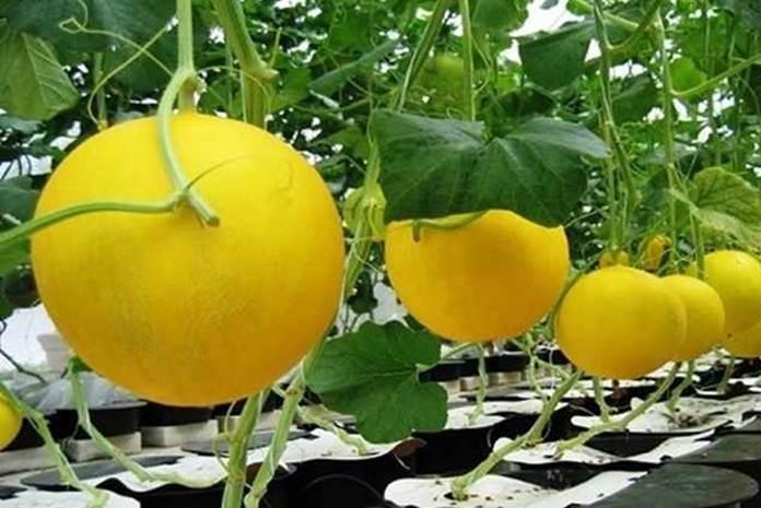 rasa manis buah melon