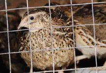 burung puyuh kanibal