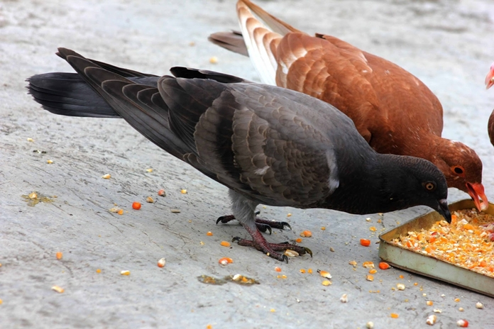 ternak burung merpati