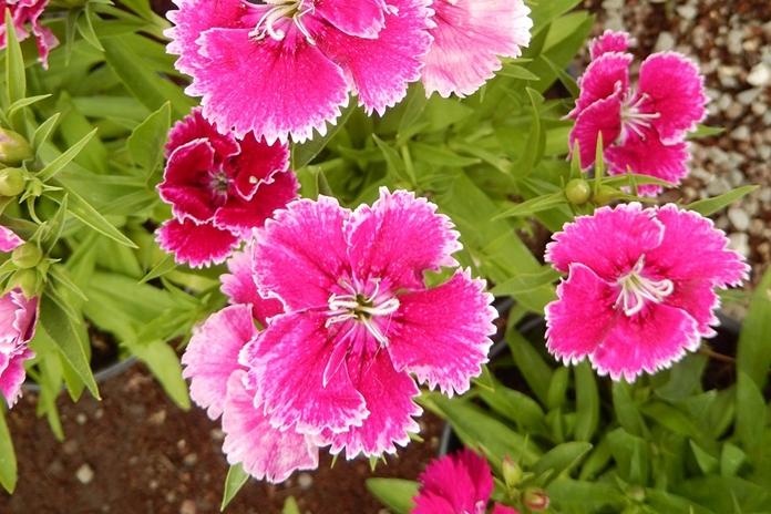 merawat bunga anyelir
