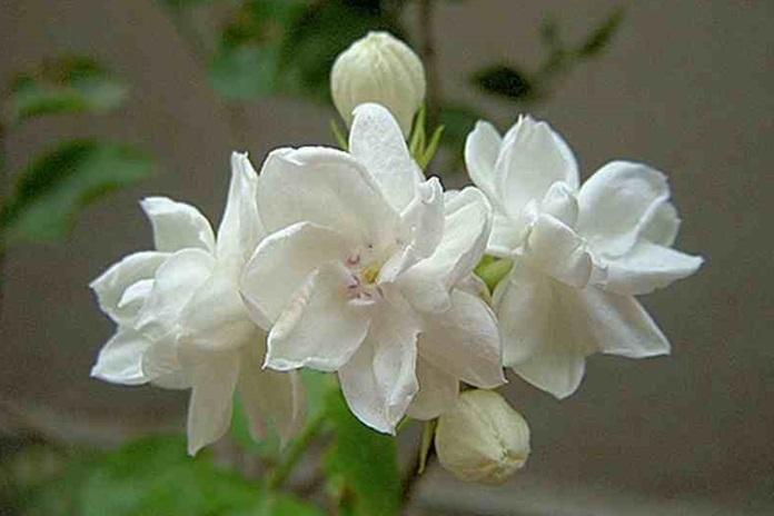budidaya bunga melati